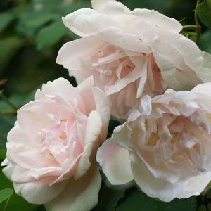 ROSA 'Madame Alfred Carrière'