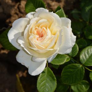 ROSA 'Mon Jardin et Ma Maison'®