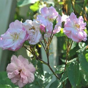 ROSA 'Narrow Water'
