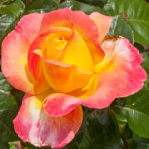 ROSA 'Orient Express' (tige)