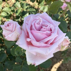 ROSA 'Parfum de Liberté'®