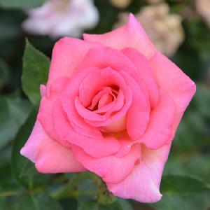 ROSA 'Parfum Royal' (grimpant)