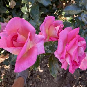 ROSA 'Parfum Royal' (tige)