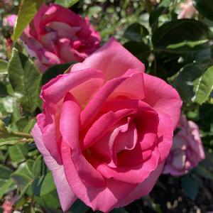 ROSA 'Parfum Royal'