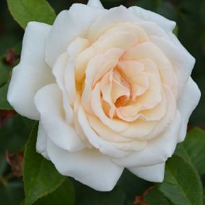 ROSA 'Prince Jardinier' (Tige)