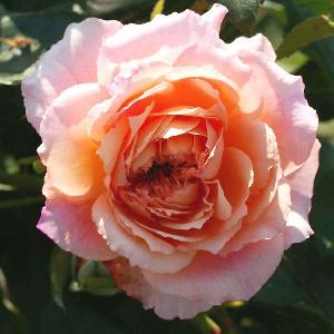 ROSA 'Rose des Cornouailles'