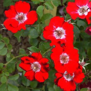 ROSA rouge MEILLANDECOR®              (= 'Meineble')