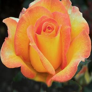 ROSA 'Rose de Mont de Marsan'®