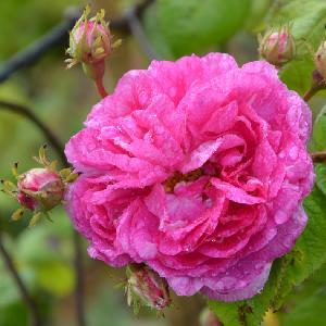ROSA 'Seven Sisters Rose'