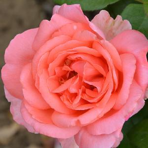 ROSA 'Special Anniversary' (grimpant)
