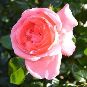 ROSA 'Special Anniversary' (tige)