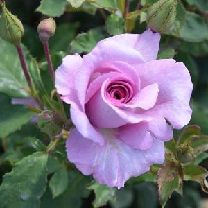 ROSA 'Violette Parfumée' (grimpant)
