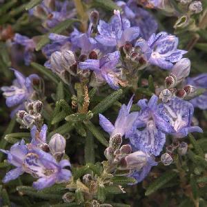 ROSMARINUS officinalis 'Corsican Blue'