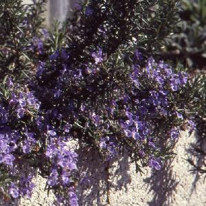 ROSMARINUS officinalis 'Prostatus' (lavandulaceus)