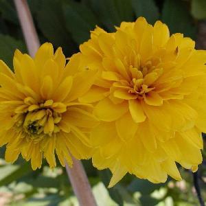 RUDBECKIA laciniata 'Goldquelle'