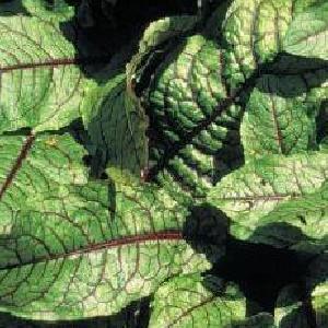 RUMEX sanguineus var. sanguineus