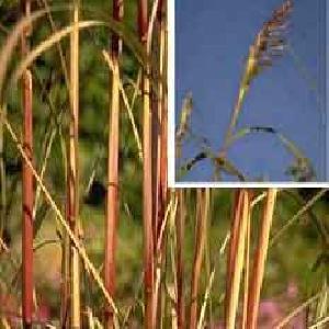 SACCHARUM ravennae (Erianthus)