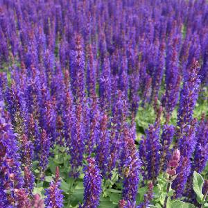 SALVIA nemorosa 'Blue Bouquetta' ®