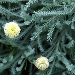 SANTOLINA chamaecyparissus 'Noémie'