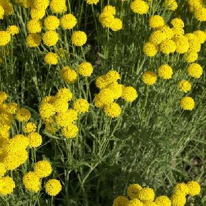 SANTOLINA pinnata ssp. neapolitana