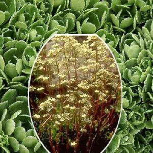SAXIFRAGA paniculata var. brevifolia ('Minor')