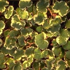 SAXIFRAGA stolonifera 'Tricolor' (sarmentosa)