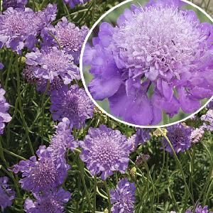 SCABIOSA columbaria 'Mariposa Blue'