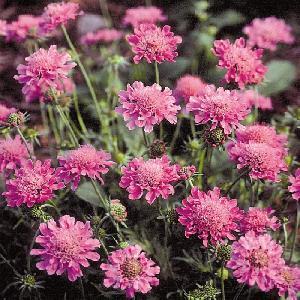 SCABIOSA columbaria 'Pincushion Pink'