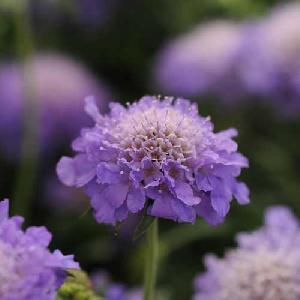 SCABIOSA japonica 'Blue Note'