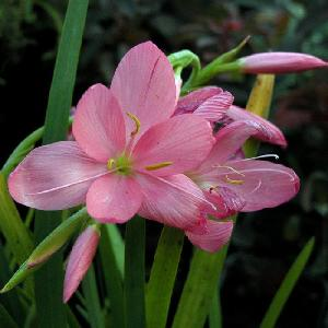 SCHIZOSTYLIS coccinea 'November Cheer'