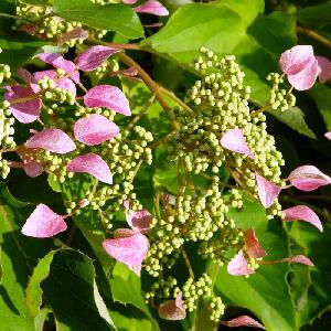 SCHIZOPHRAGMA hydrangeoides 'Rose Sensation'®