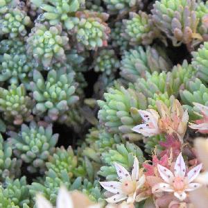 SEDUM hispanicum (S. lydium 'Glaucum')