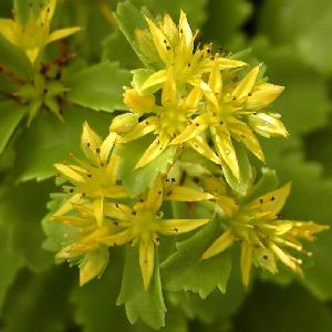 SEDUM kamtschaticum var. ellacombeanum