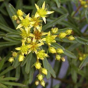 SEDUM kamtshaticum var.middendorffianum