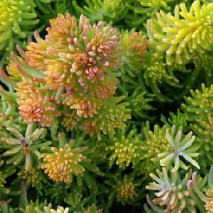 SEDUM reflexum 'Yellow Cushion'