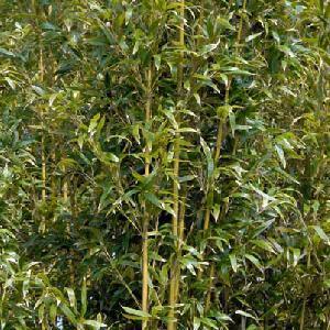 SEMIARUNDINARIA densiflora