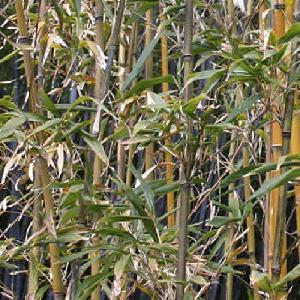 SEMIARUNDINARIA fastuosa var. viridis
