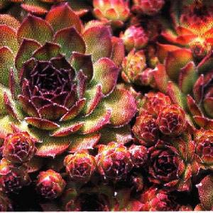 SEMPERVIVUM 'Noir'