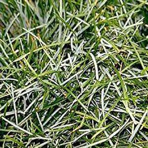 SESLERIA caerulea (uliginosa)