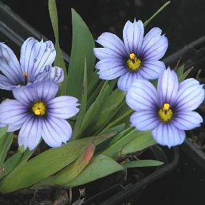 SISYRINCHIUM 'Devon Blue'