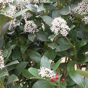 SKIMMIA japonica ssp. reevesiana