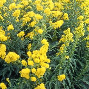 SOLIDAGO 'Goldwedel'