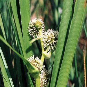 SPARGANIUM erectum (ramosum)