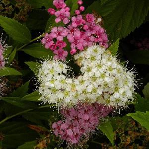 SPIRAEA japonica 'Genpei' (= 'Shirobana')