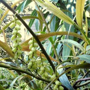 STACHYURUS praecox 'Salicifolia'