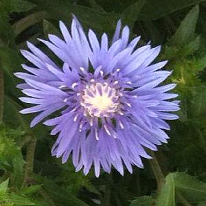 STOKESIA laevis 'Mel's Blue'