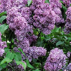SYRINGA vulgaris 'Capitaine Baltet'