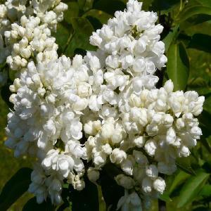 SYRINGA vulgaris 'Souvenir d'Alice Harding'