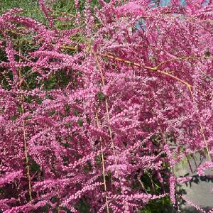 TAMARIX ramosissima 'Rubra' (odessana)