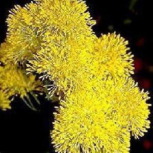 THALICTRUM flavum ssp glaucum